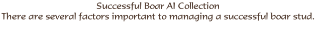 Successful Boar AI Collection There are several factors important to managing a successful boar stud.